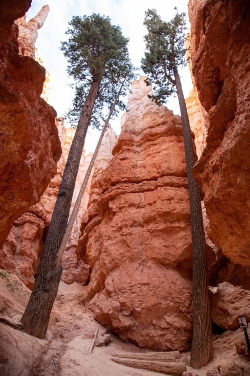 Drzewa Douglas-fir