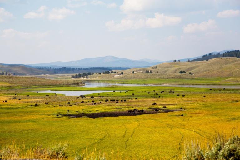 Canyon Village - stado bizonów
