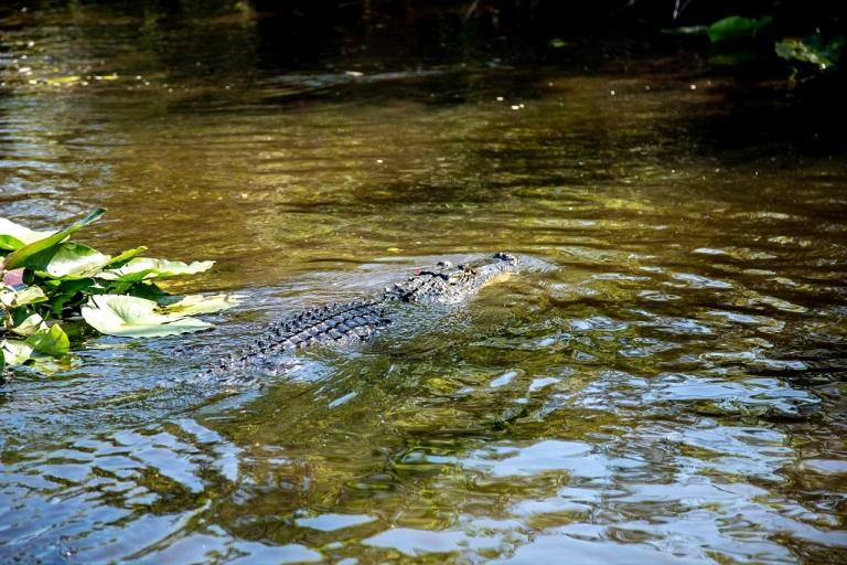 Shark River Slough - aligator