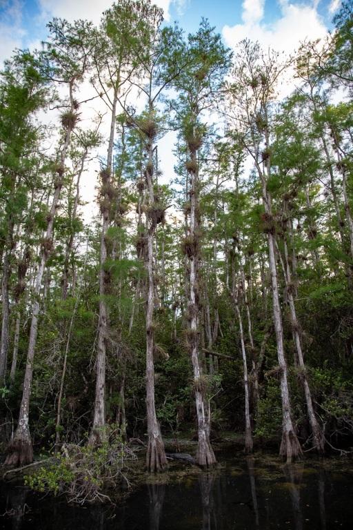 Big Cypress National Preserve - mokradła