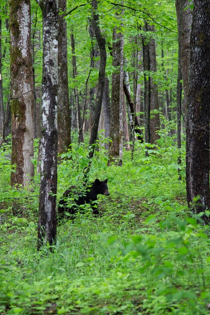 Cades Cove - niedźwiedź