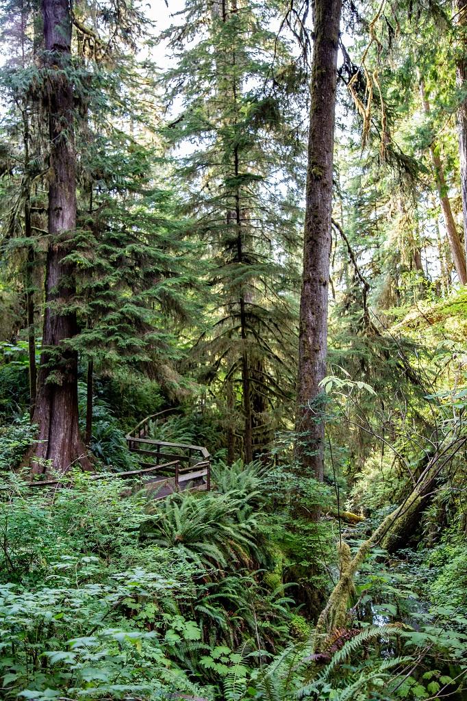 Quinault Rain Forest - ścieżka