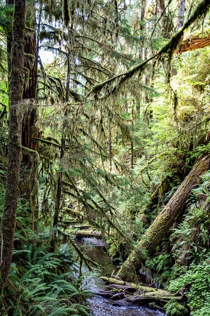Quinault Rain Forest - strumień