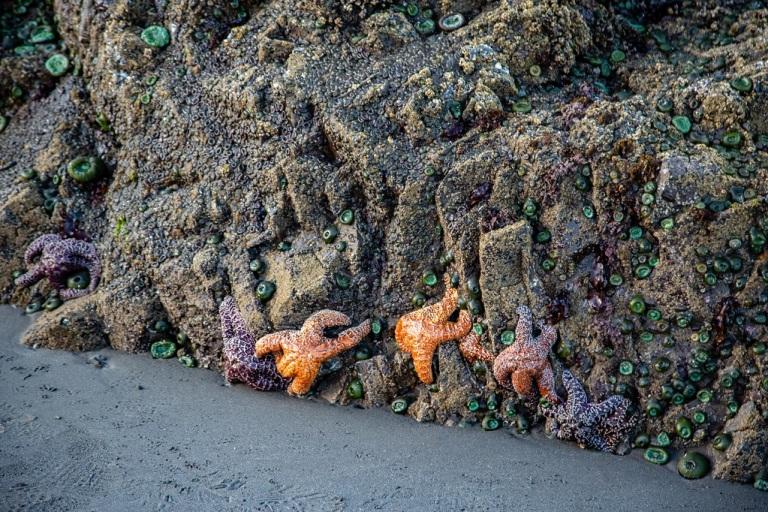 Ruby Beach - rozgwiazdy