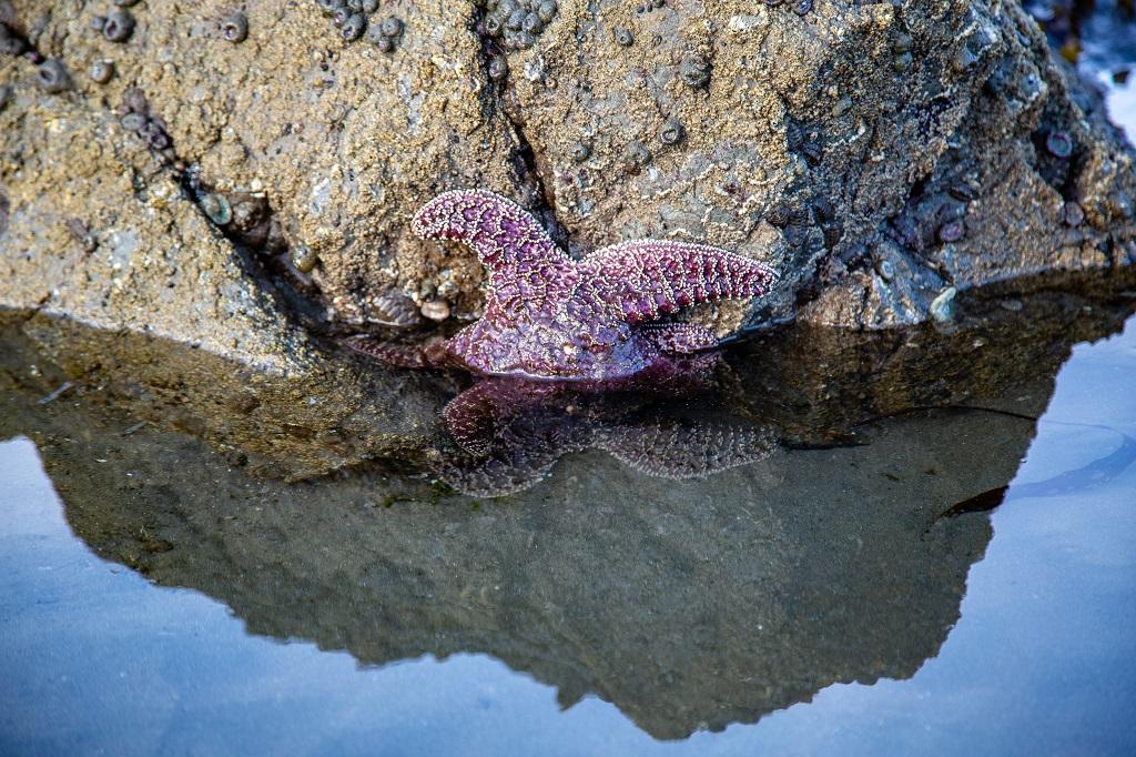 Ruby Beach - rozgwiazda