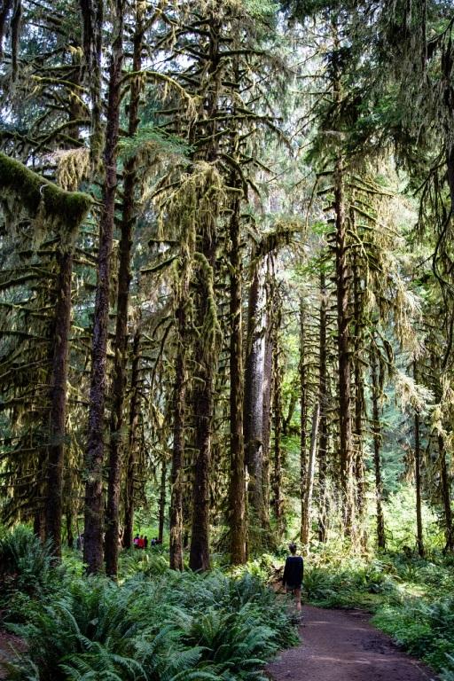 Hoh Rain Forest - ścieżka