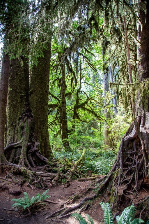 Hoh Rain Forest - Hall of Mosses