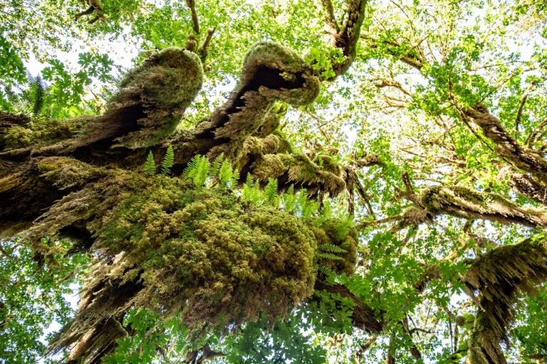 Hall of Mosses - drzewa