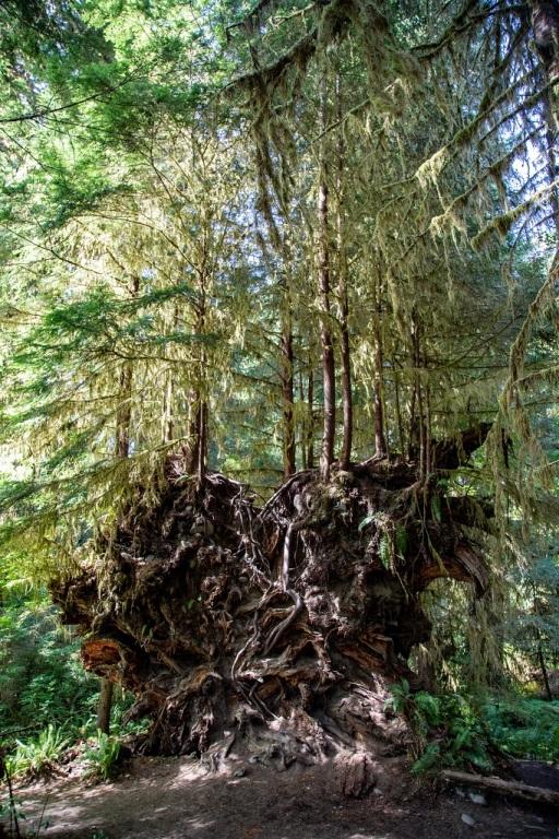 Hall of Mosses - korzenie